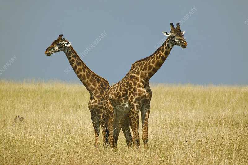 Pair of Masai Giraffes