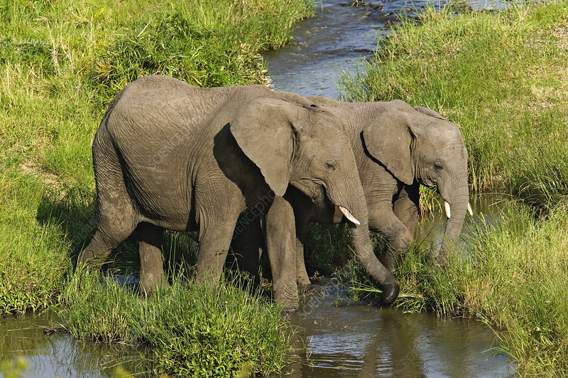 Pair of African Elephants Feeding