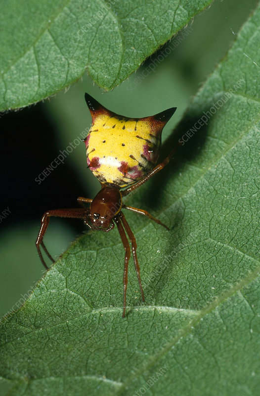Arrow-shaped Orb Weaver