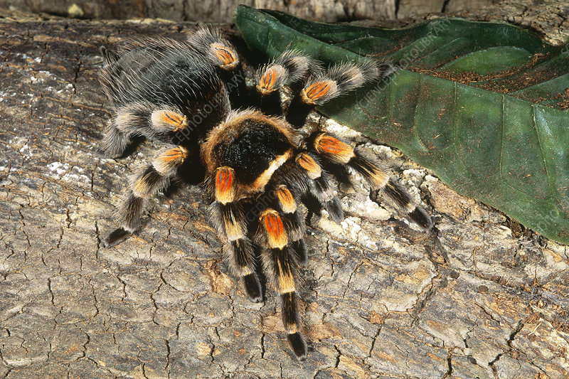 Orange-knee Tarantula
