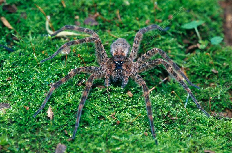 Thin-legged Wolf Spider
