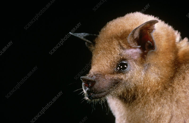 Southern Long-Nosed Bat