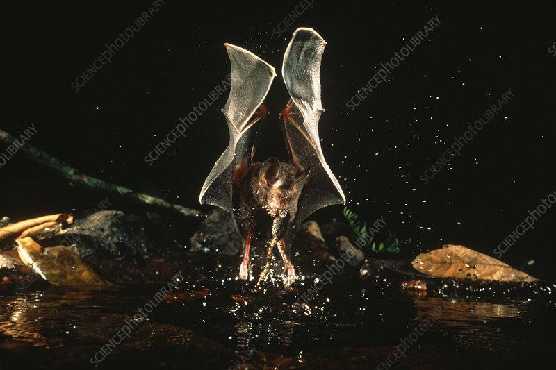 Frog-eating Bat