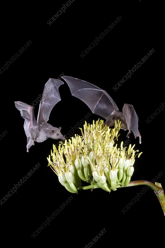 Mexican Long-tongued Bats
