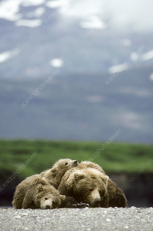 Brown Bear with Cubs
