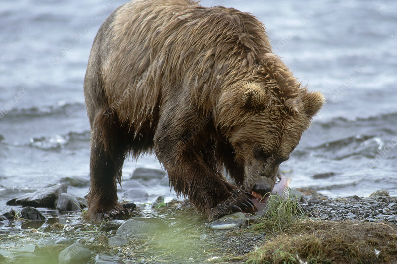 Kodiak Bear Eating Salmon