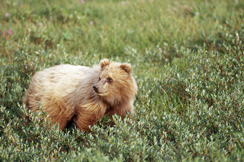 Grizzly Bear Yearling Cub