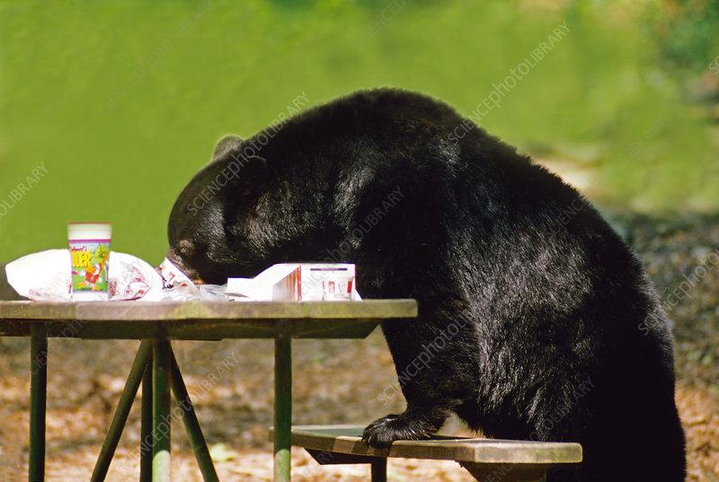 Black Bear Raiding Picnic Table