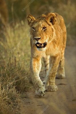 Lioness Walking at Sunset