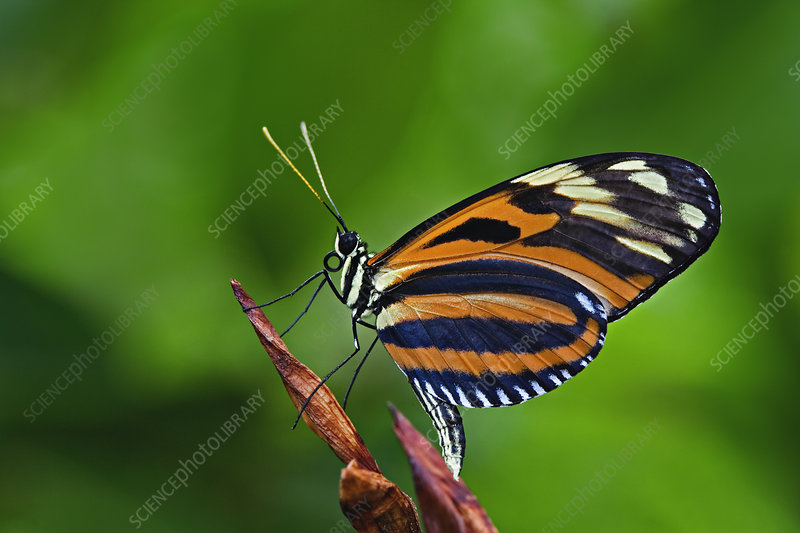 Ismenuis Longwing butterfly