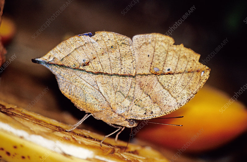 Indian Leaf Mimic Butterfly