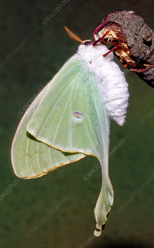Luna Moth (Actias luna) ready to fly