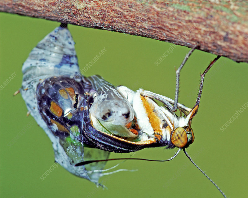 Malachite Butterfly metamorphosis