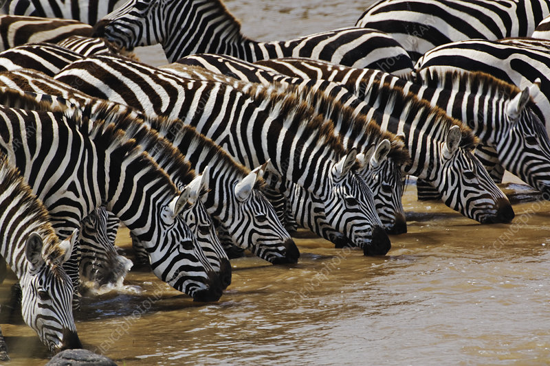 Herd of Plains Zebras Drinking