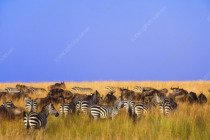 Plains Zebras and Wildebeests