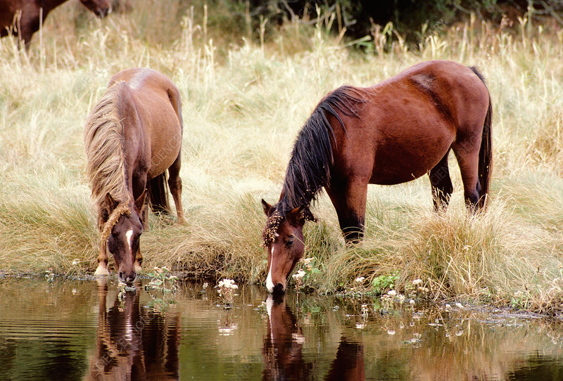 'Wild Horses drinking, Chincoteague NWR'