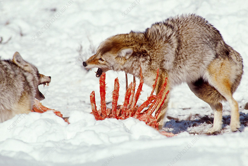 Coyotes at Elk Carcass