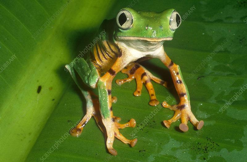 Tiger-striped Leaf Frog