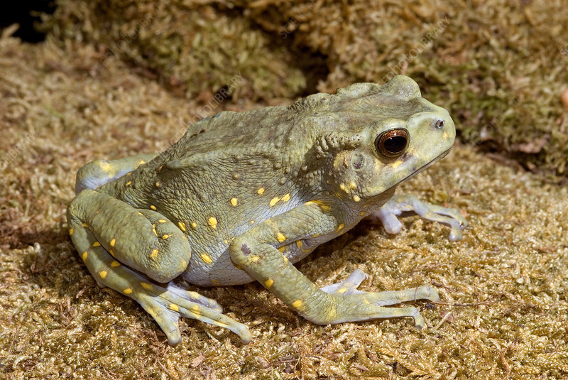 'Brown tree toad, Pedostibes hosii'