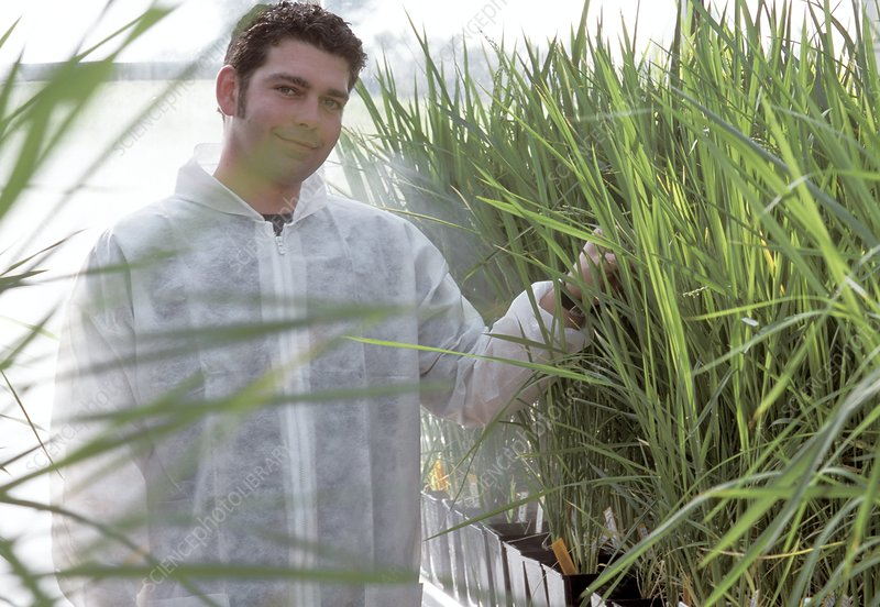 Transgenic rice research