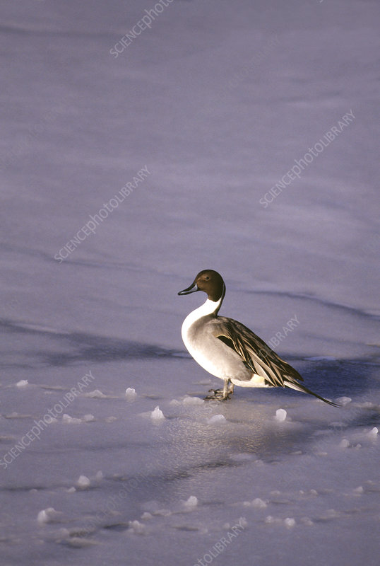 Male Northern Pintail Duck (Anas acuta)