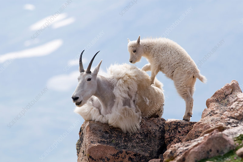 Mountain Goat kid with mother