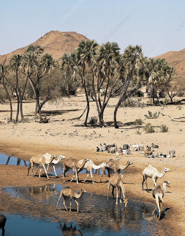 Camels and Goats at a Waterhole