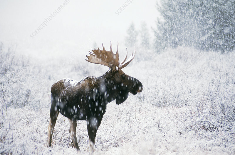 Bull Moose in Snow