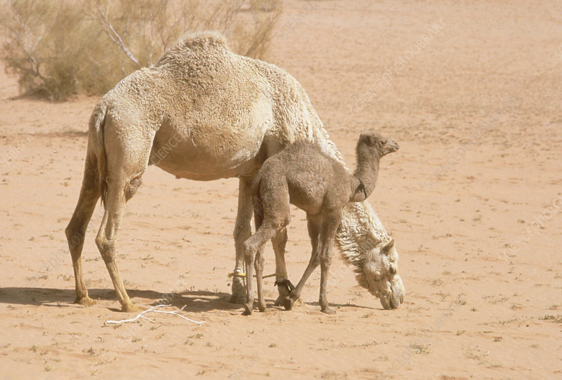 Mother and Baby Dromedary Camels