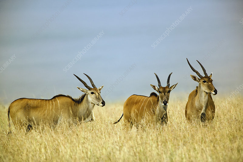 Giant Elands in Tall Grass