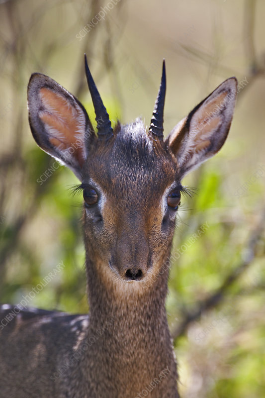 Kirk's Long-snouted Dik-Dik