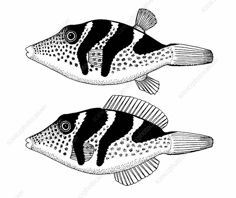 Fish Mimicry
