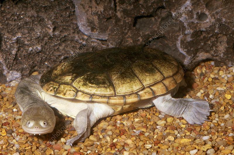 Northern Longneck Turtle