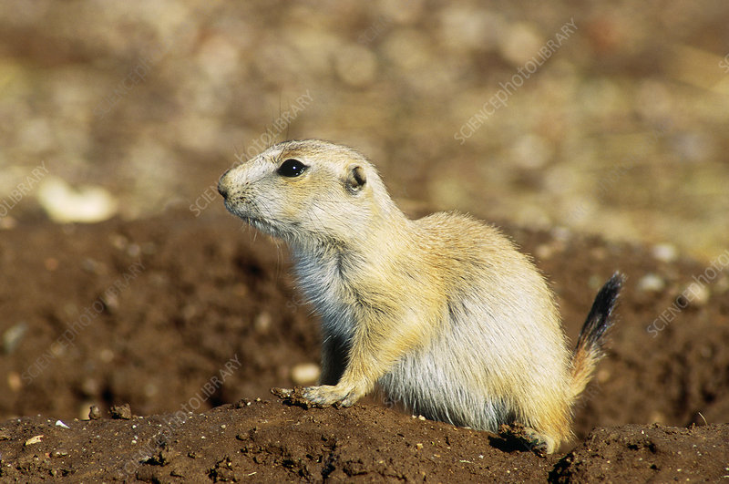 Black-tailed Prarie Dog