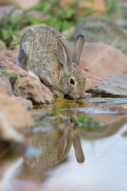 Desert Cottontail drinking