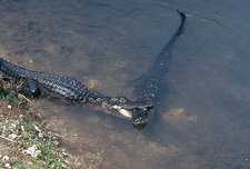 Alligator Courtship