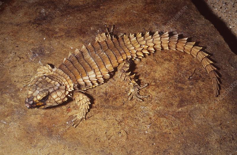 Armadillo girdled lizard desert
