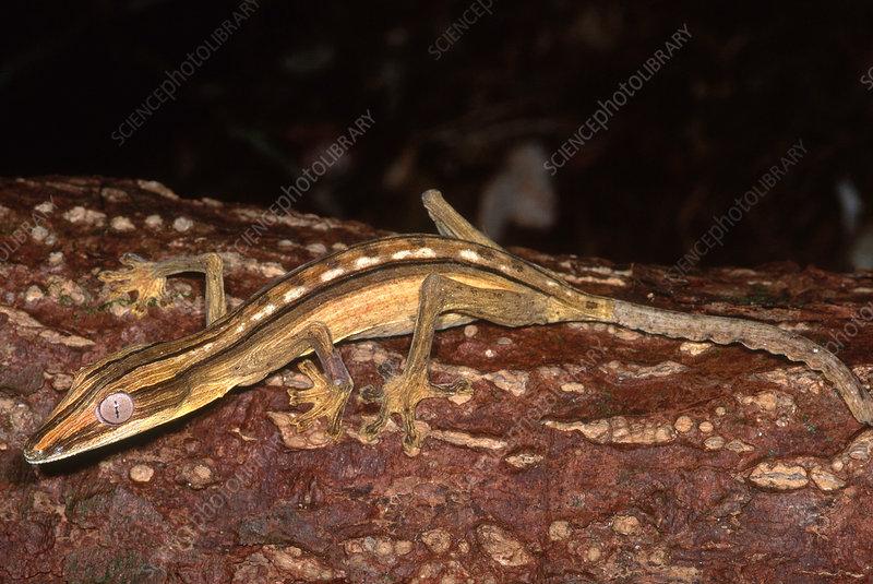 Dwarf Leaf-Tailed Gecko