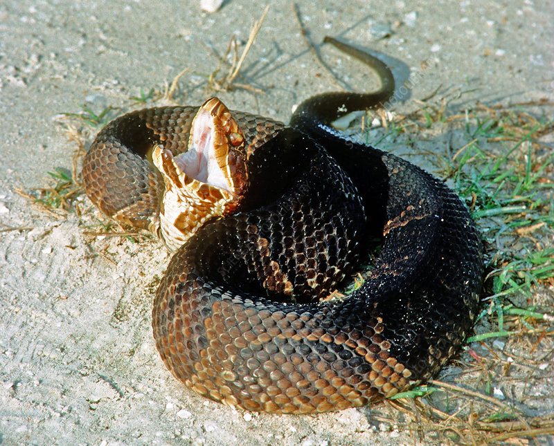 Florida Cottonmouth 'playing dead'