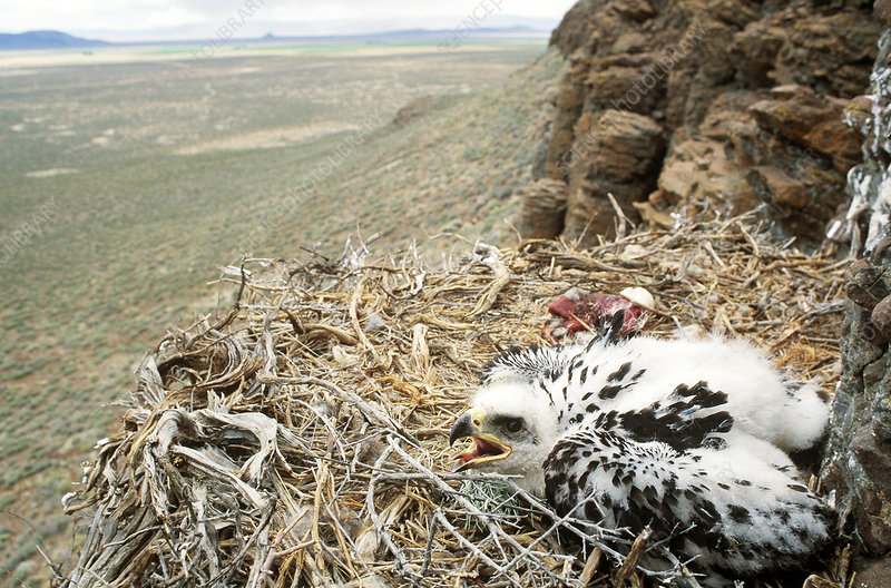 Golden Eagle young in nest with prey