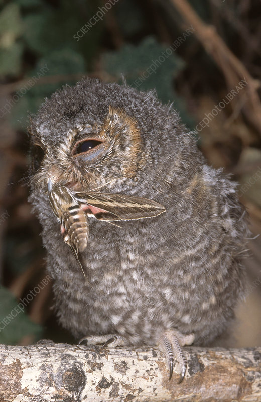 Flammulated Owl Eating Moth