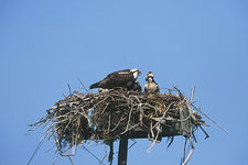 Osprey and young at nesting platform