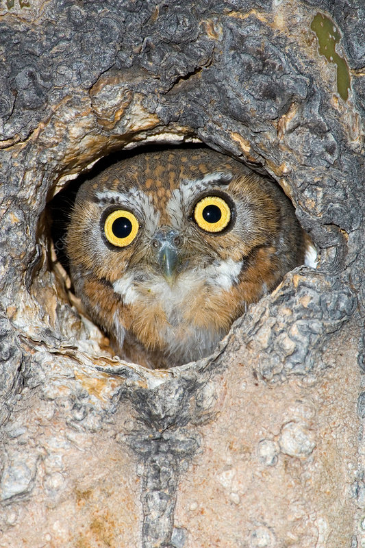 Elf Owl nesting in tree cavity