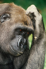 'Gorilla, hand on forehead'