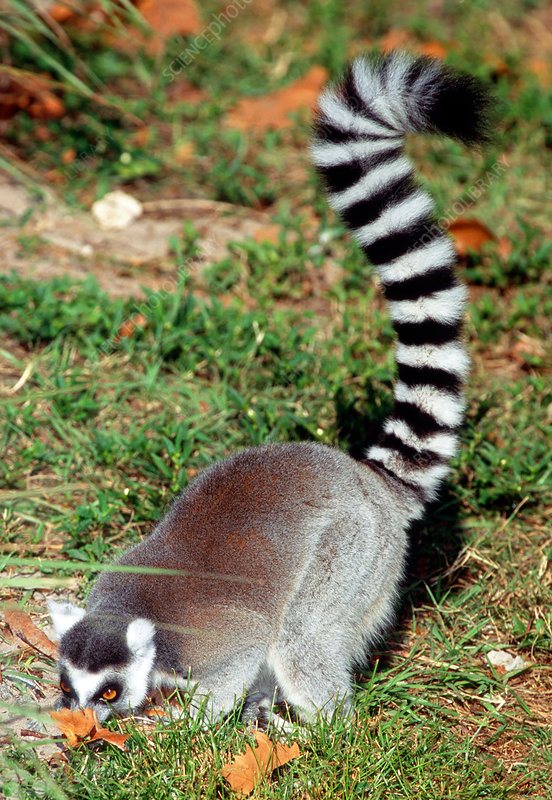 Ring-tailed Lemur digging for food