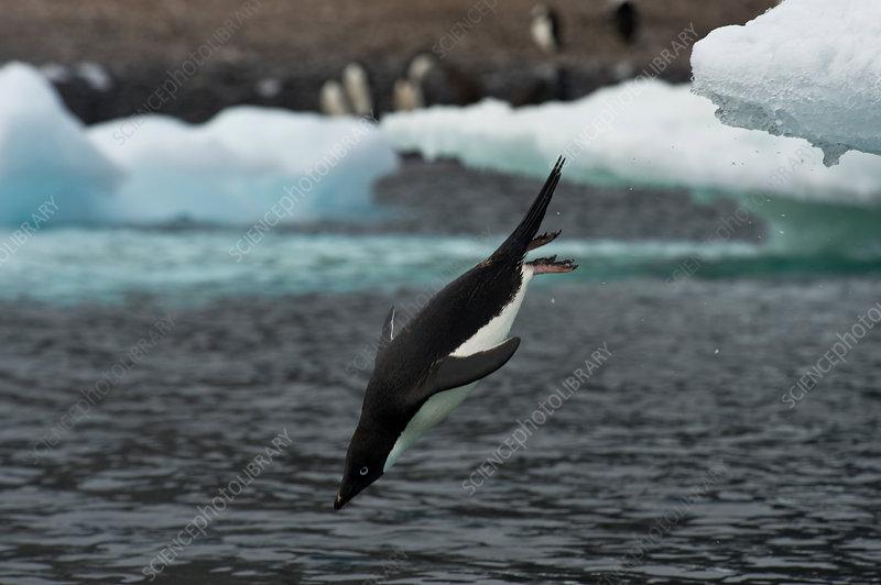 Adelie Penguin Diving