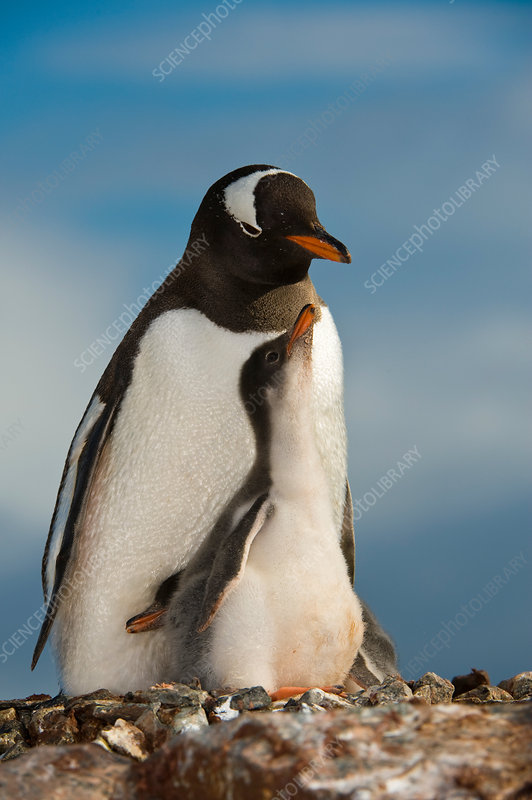 Gentoo Penguin with Young