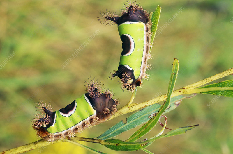 Saddleback Caterpillars