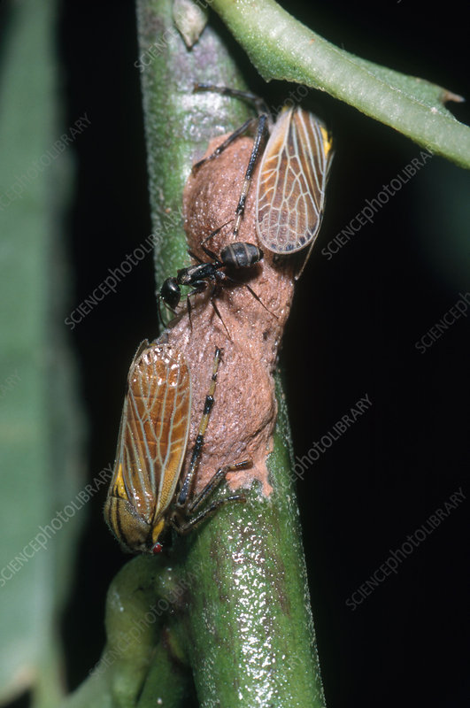 Tree Hoppers Guarding Eggs