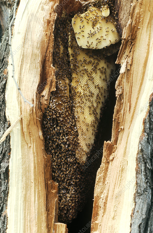 Bee Hive in Hollow Tree